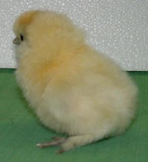 Poule n gre soie plumage blanc for Poule soie blanche prix
